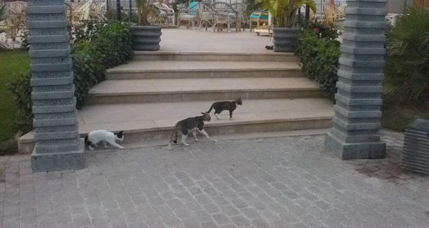 قطط فى النادى الاهلى الشيخ زايد
