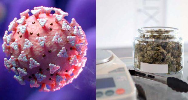 تاثير مادة الحشيش علي مرضي فيروس كورونا